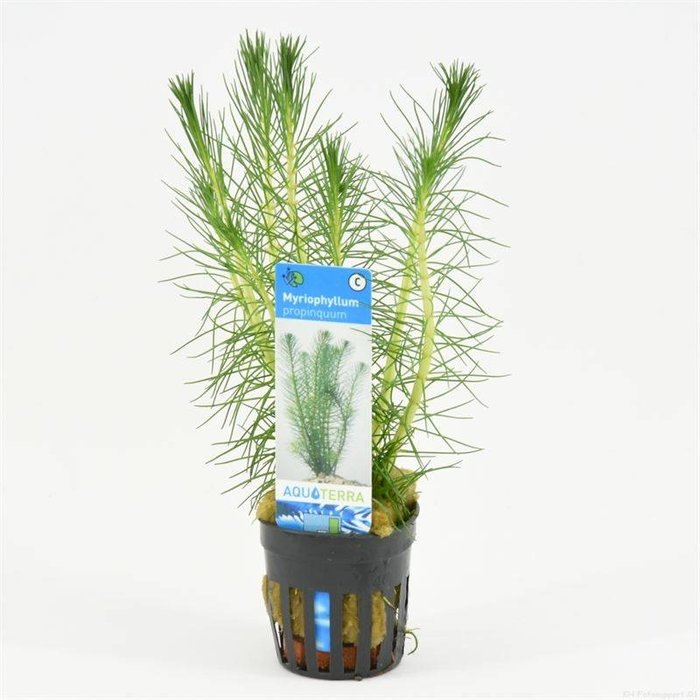 Myriophyllum propinquum  (verpakt per 6 stuks) 93604