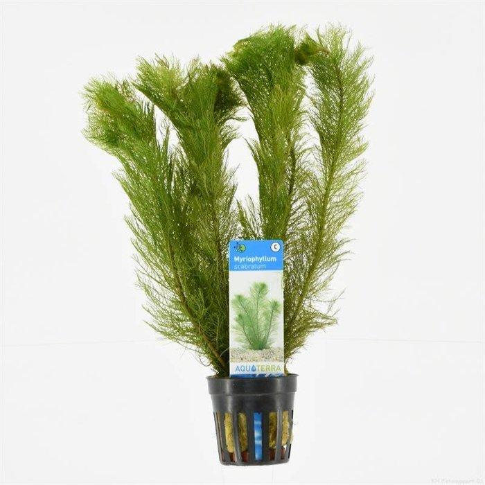 Myriophyllum scabratum  (verpakt per 6 stuks) 93607