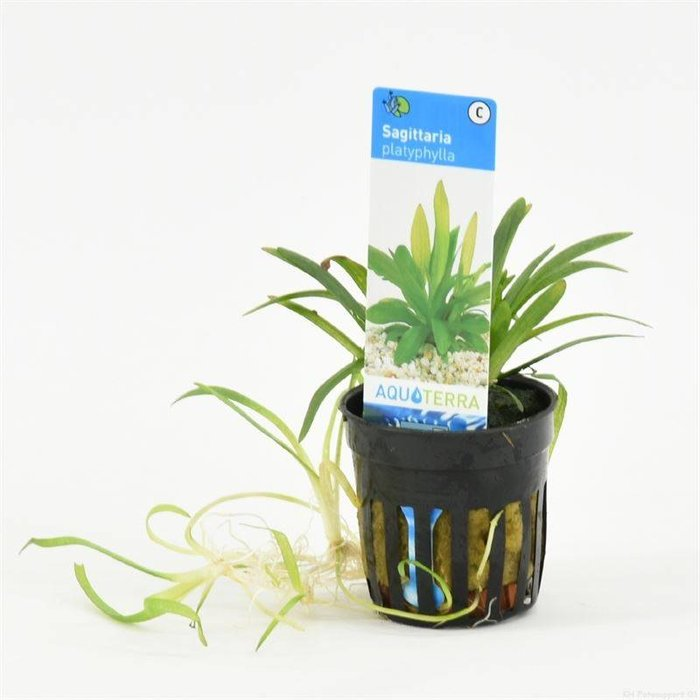 Sagittaria platyphylla  (verpakt per 6 stuks) 93670
