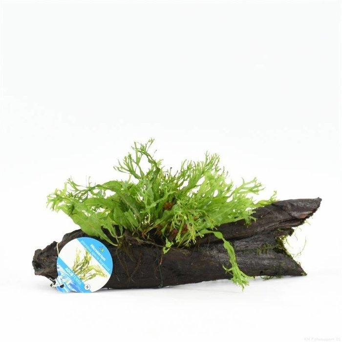 Driftwood small microsorium specie(verpakt per 1 stuks) 91595