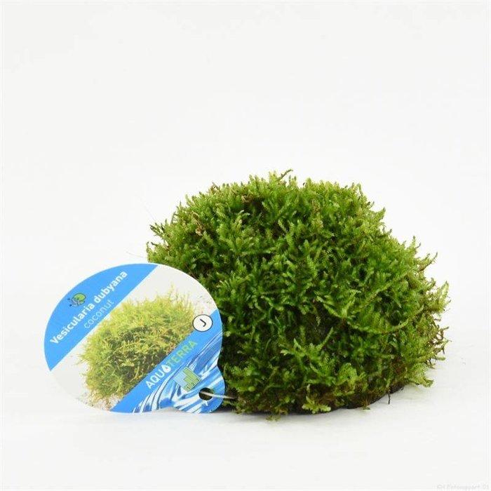 Vesicularia dubyana op cocosnoot ( verpakt per 1 stuks) 91589