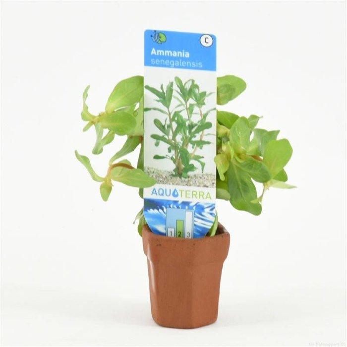 Ammania senegalensis (emballé par 10 pièces) 97250