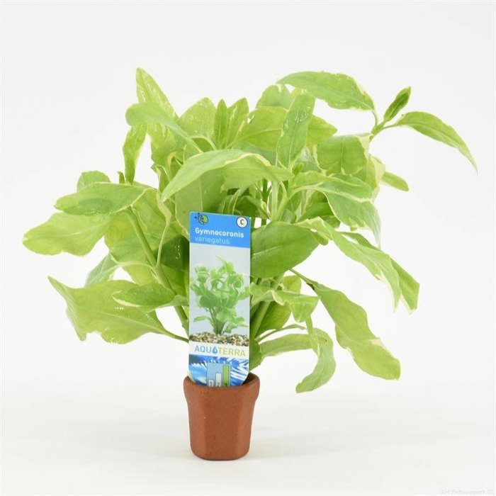 Gymnocoronis variegatus (verpakt per 10 stuks) 97483