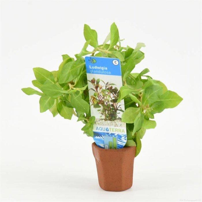 Ludwigia glandulosa (verpakt per 10 stuks) 97545