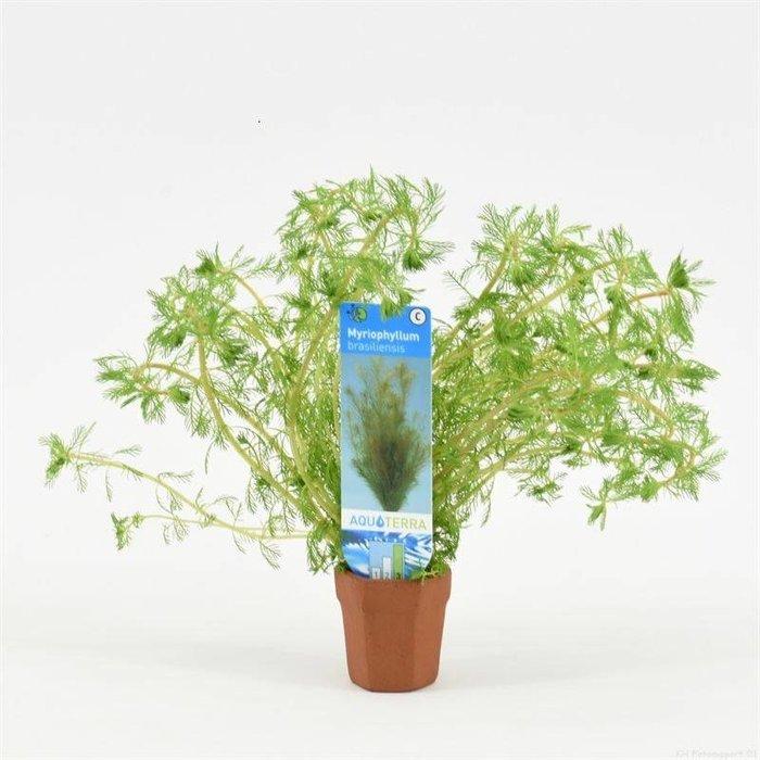 Myriophyllum brasiliensis (verpakt per 10 stuks) 97601