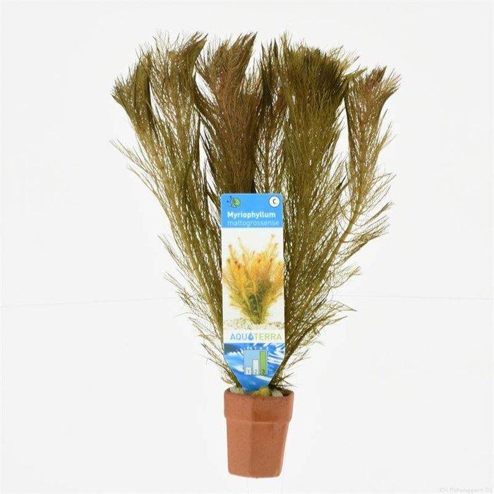 Myriophyllum mattagrossense (verpakt per 10 stuks) 97603