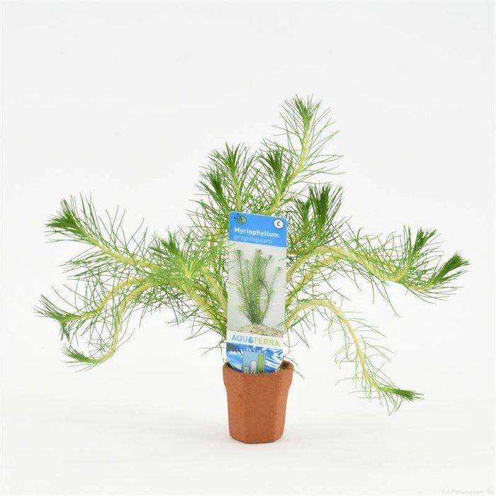 Myriophyllum propinquum (emballé par 10 pièces) 97604