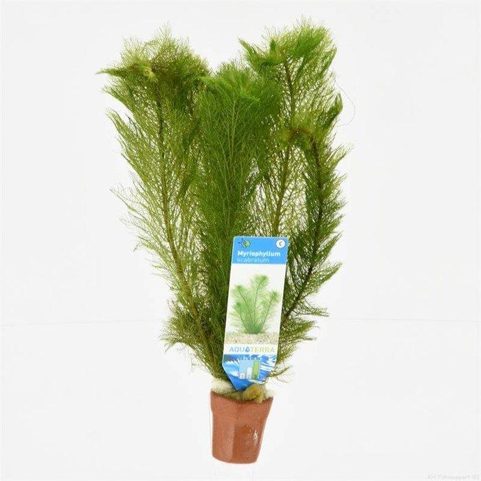 Myriophyllum scabratum (emballé par 10 pièces) 97607