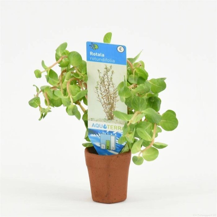 Rotala rotundifolia (emballé par 10 pièces) 97660