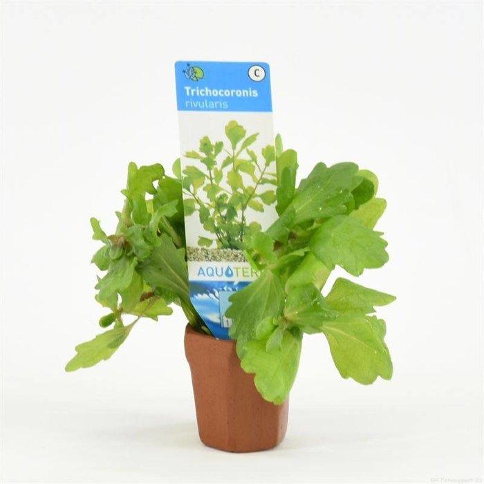Trichocoronis rivularis (emballé par 10 pièces) 97710