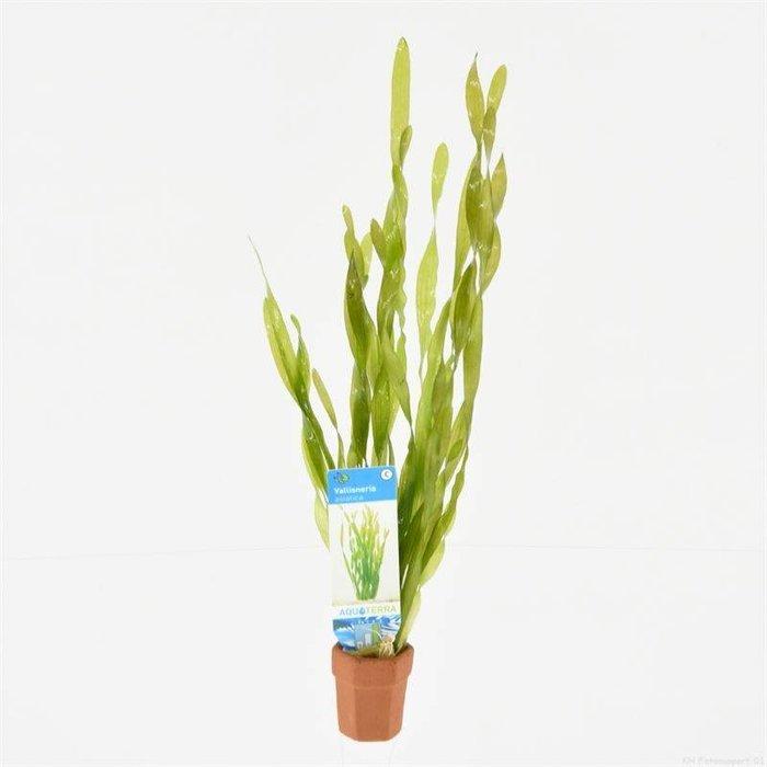 Vallisneria asiatica (emballé par 10 pièces) 97750