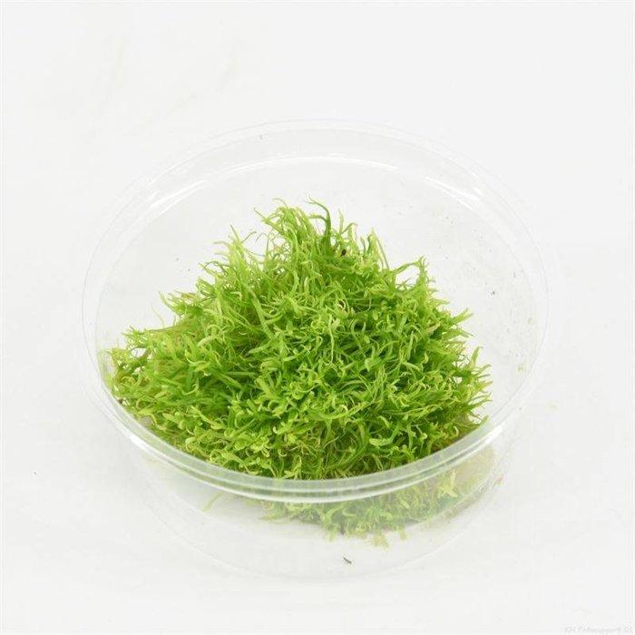 Utricularia (emballé par 3 pièces) 91650