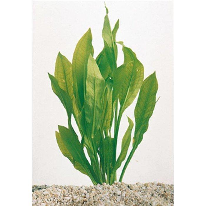 Echinodorus paniculatus (amazone) (verpakt per 1 stuks) 99412