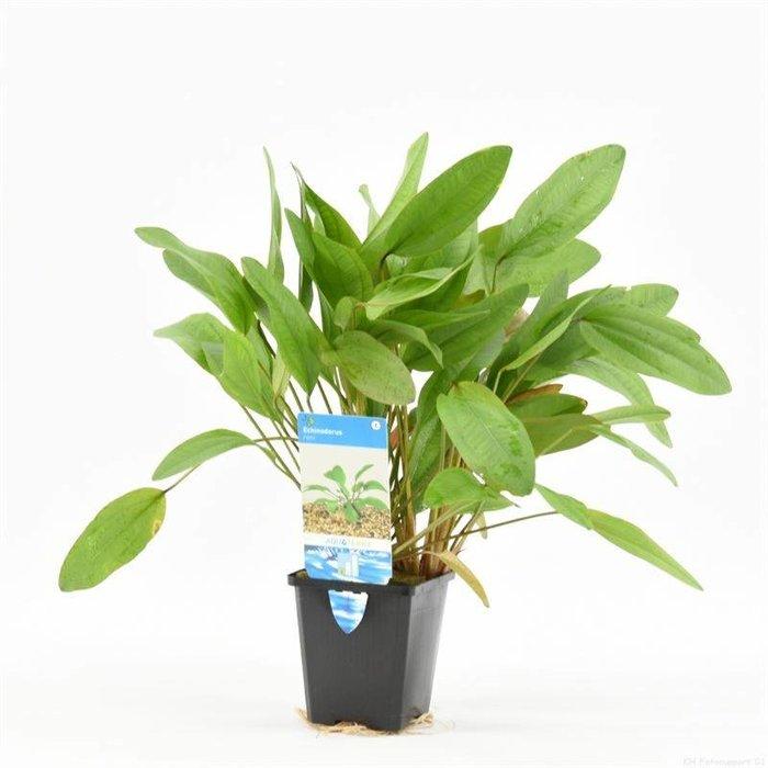 Echinodorus reni (verpakt per 1 stuks) 99454