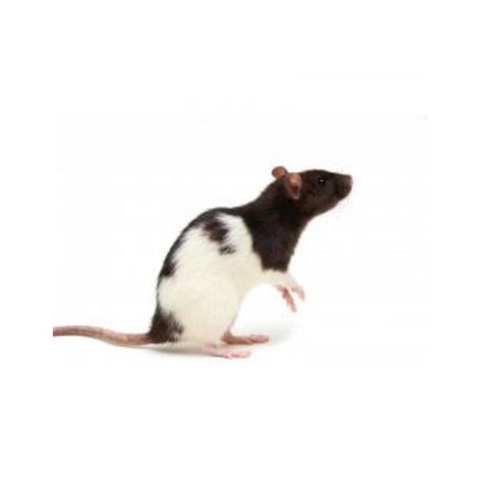 Rats 11-25g