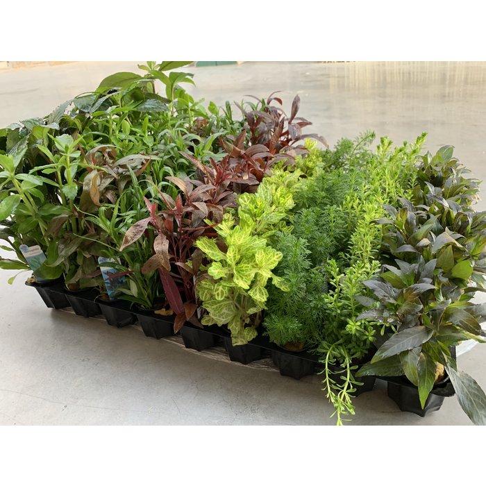 Plantes d'aquarium en pot 5 cm 20 pièces