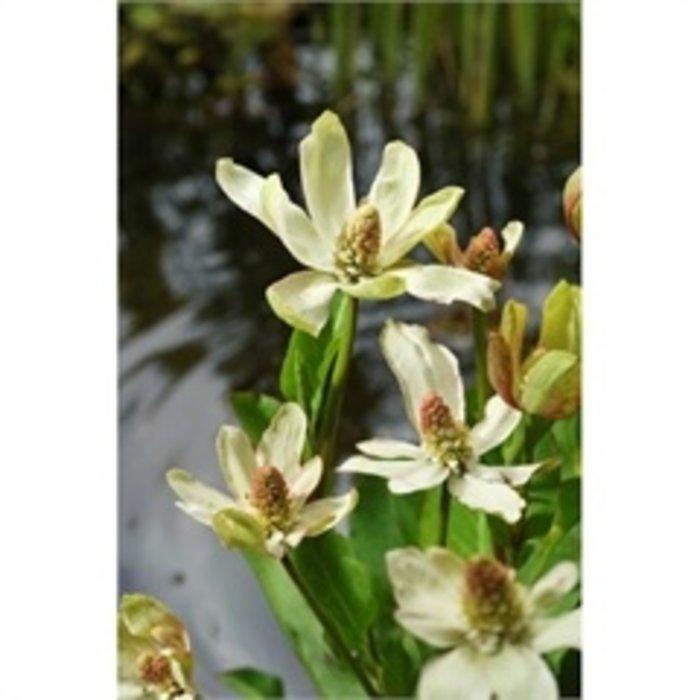 Anemopsis californica (verpakt per 6 stuks)10940