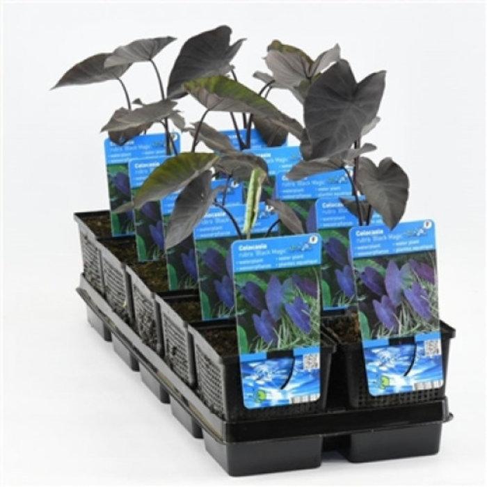 Colocasia rubra 'Black Magic' (verpakt per 6 stuks) 11037