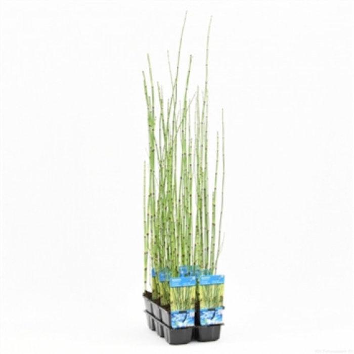 Equisetum japonica (verpakt per 6 stuks) 11080