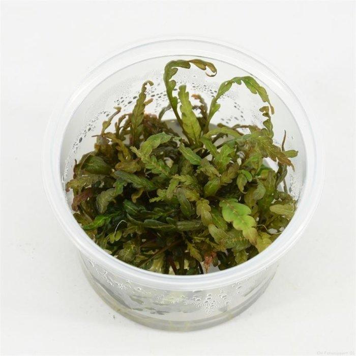 Hygrophila pinnatifida  (emballé par 3 pièces) 91306