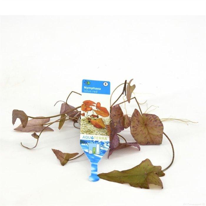 Nymphea lotus rouge (emballé par 3 pièces) 92631