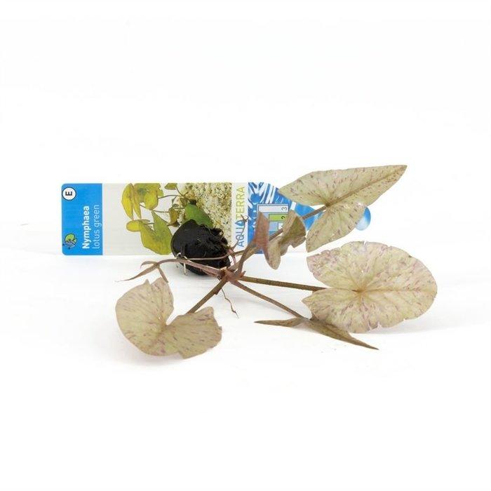 Nymphea lotus groen (verpakt per 3 stuks) 92632