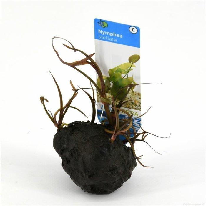 Nymphaea stellata (Los) (emballé par 1 pièces) 92630