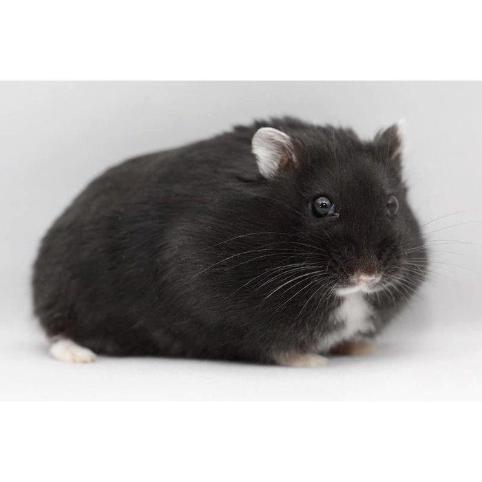 Hamster Nain russe noir