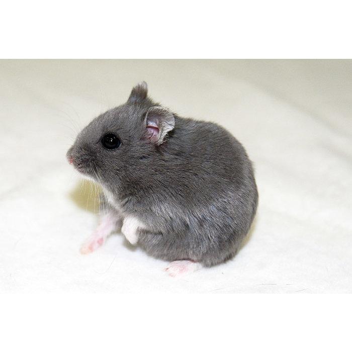 Hamster Nain russe bleu