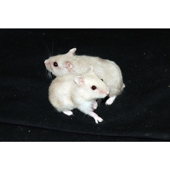 Hamster Nain russe pied