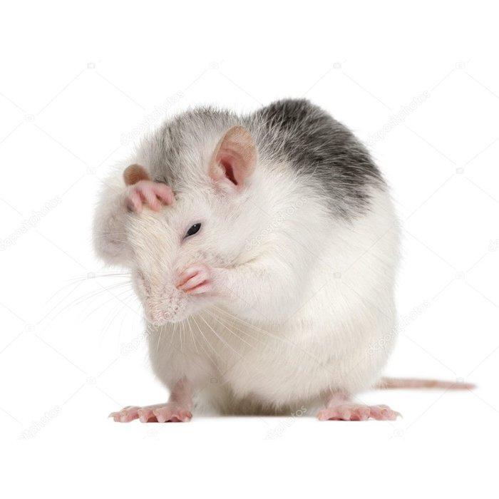 Husky Rat