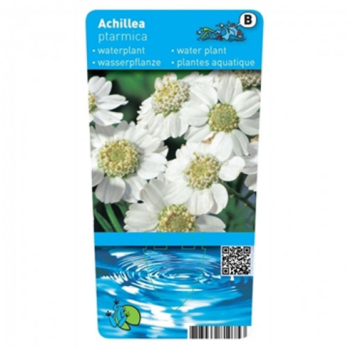 Achillea ptarmica (verpakt per 6 stuks) 10010