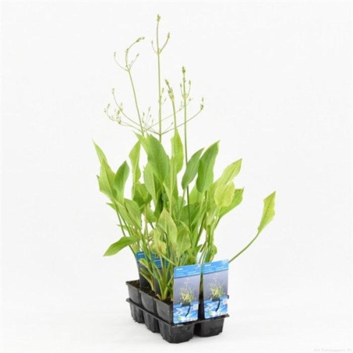 Alisma plantago-aquatica (emballé par 6 pièces) 10040