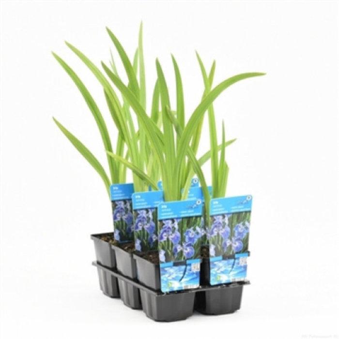 iris setosa (emballé par 6 pièces) 10365