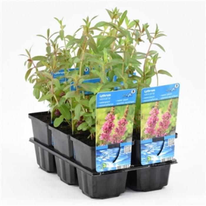 Lythrum salicaria (emballé par 6 pièces) 10500