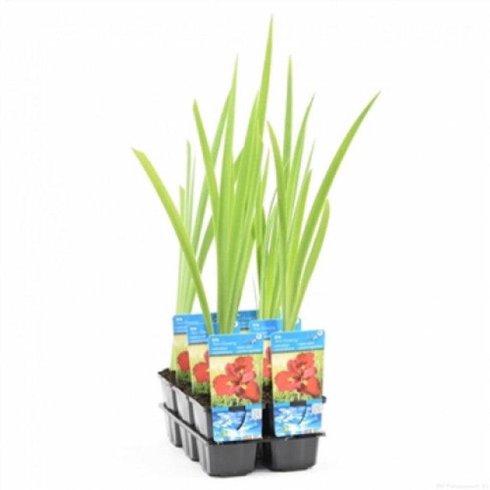 Iris ann chowing (emballé par 6 pièces)10345