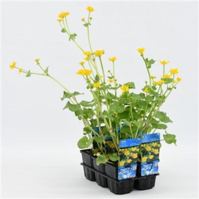 Caltha palustris (verpakt per 6 stuks) 10110