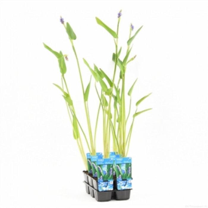 Pontederia cordata 'Lanceolata' (verpakt per 6 stuks) 11280