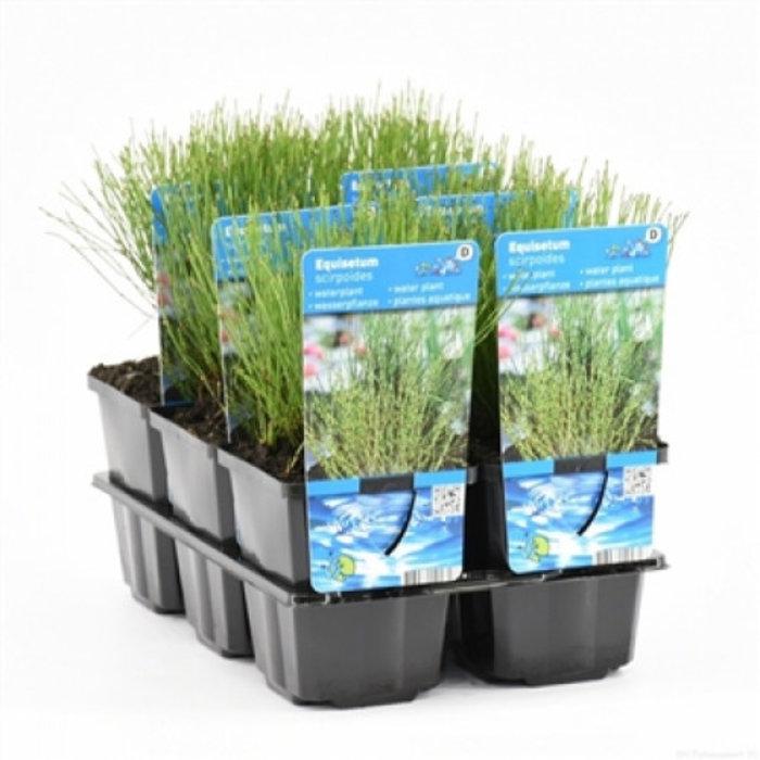 Equisetum scirpoides (verpakt per 6 stuks) 11090