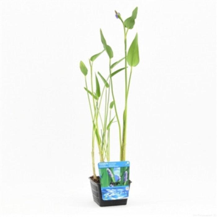 Pontederia cor lanceolata (18x18) (verpakt per 3 stuks) 13370