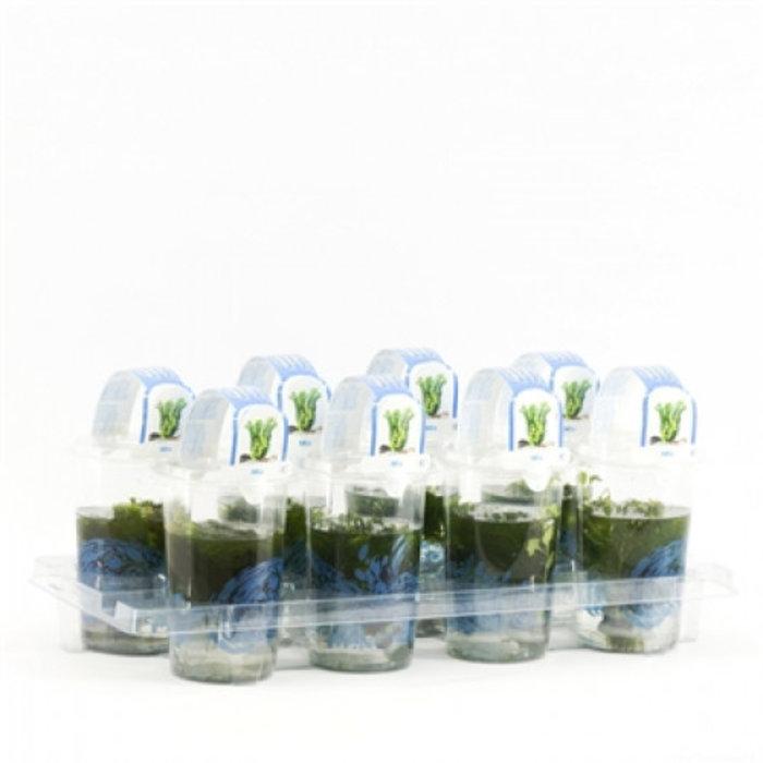 mélange de plantes d'oxygène Cup medium (emballé par 8 pièces) 11710