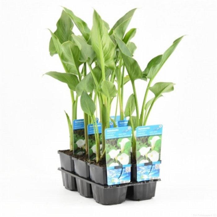 Zantedeschia aethiopica (verpakt per 6 stuks) 11390