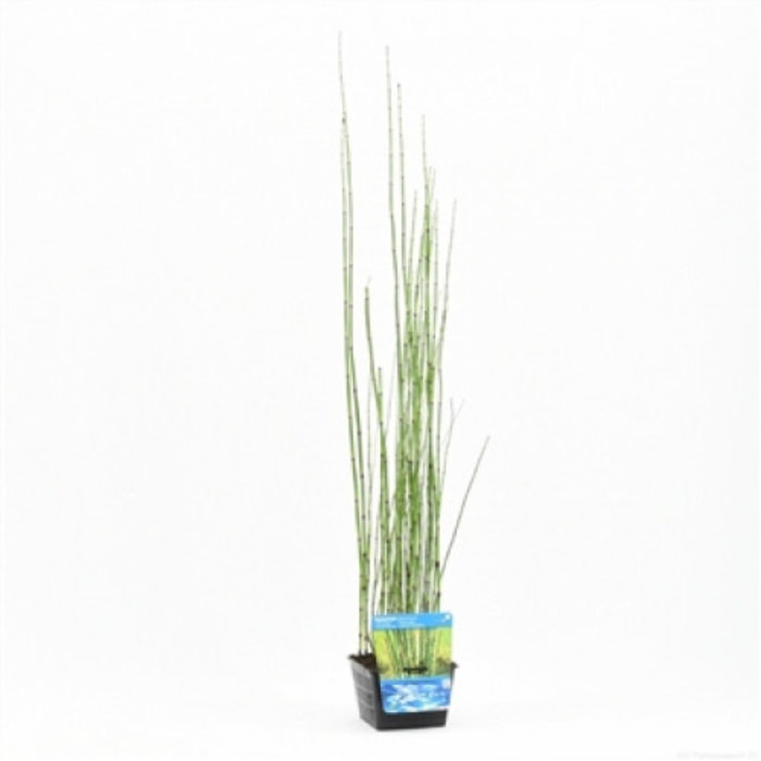 Equisetum japonica (18x18) (verpakt per 3 stuks) 13210
