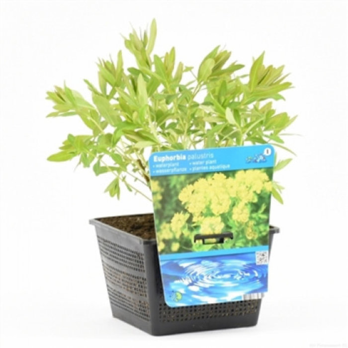 Euphorbia palustris (18x18) (emballé par 3 pièces)12660
