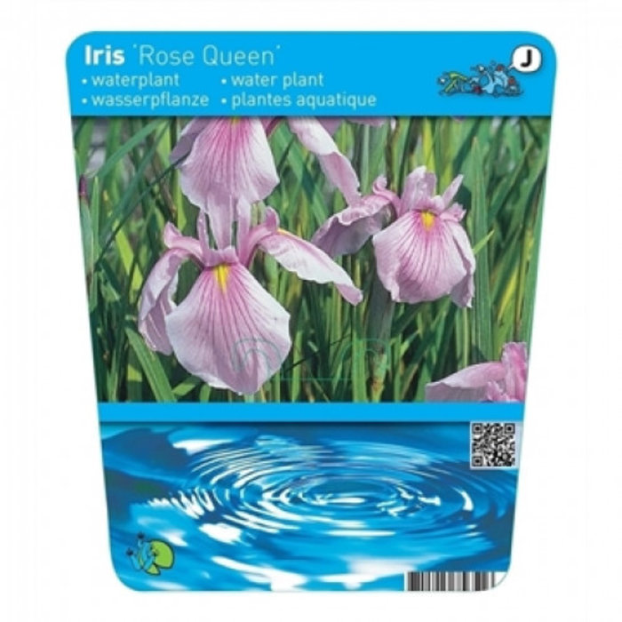 Iris laevigata Rose Queen (18x18) (verpakt per 3 stuks) 13290