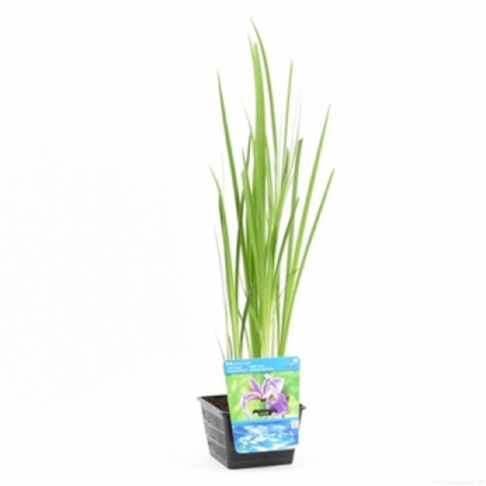Iris versicolor (18x18) (emballé par 3 pièces) 12740
