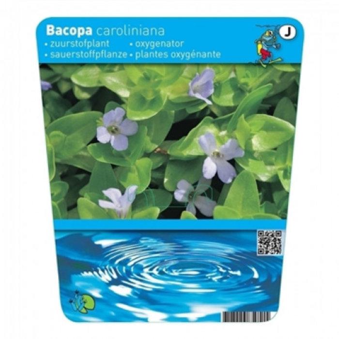 Bacopa caroliniana (18x18) (emballé par 3 pièces) 13476