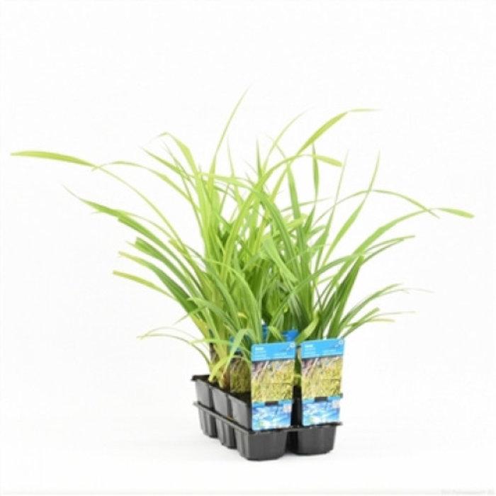 Carex pendula (verpakt per 6 stuks) 10140