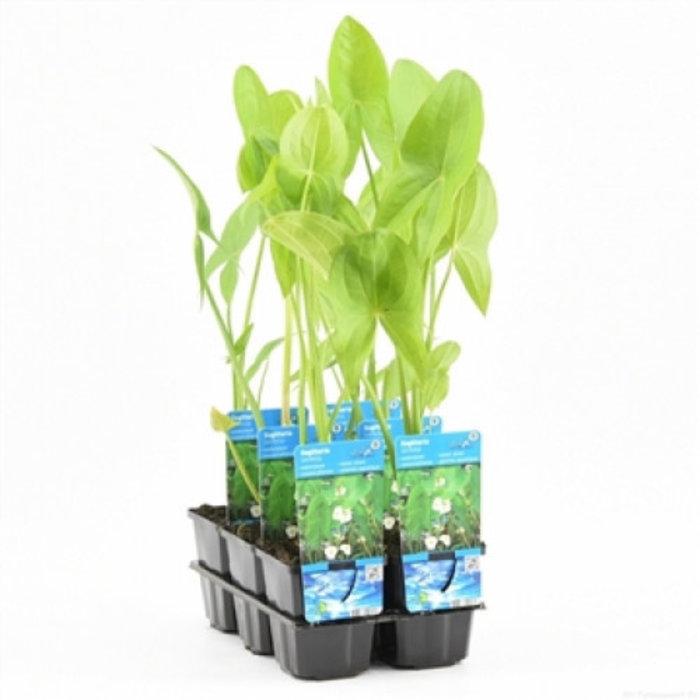 Sagittaria latifolia (verpakt per 6 stuks) 11310