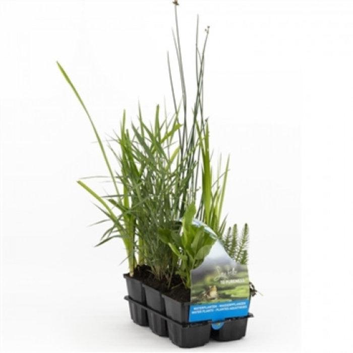 Zuiverende planten in sixpack (verpakt per 2 stuks) 30015